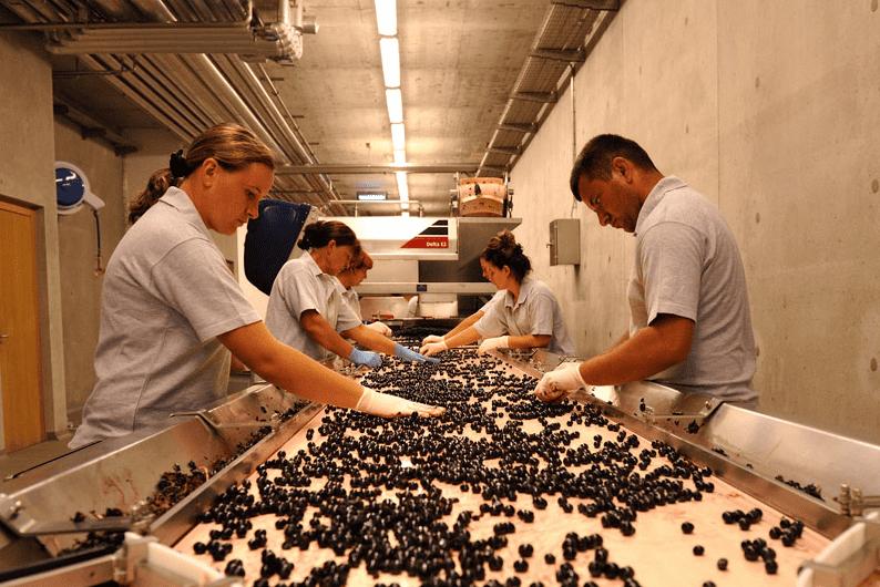 Monteverro Lavorazione Olive